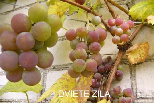 dviete_zila