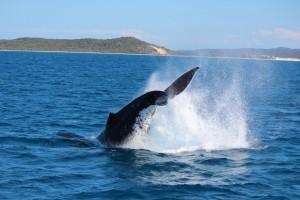 Melynasis banginis